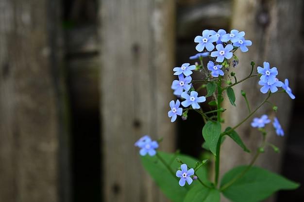 古いフェンスの背景に青いオムパロデス花の眺め。