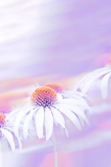 Эхинацея белые цветы