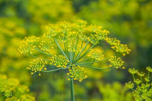 Семена растений укропа на грядке