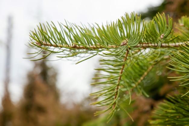緑の針とスプルースの枝。松針葉樹の枝