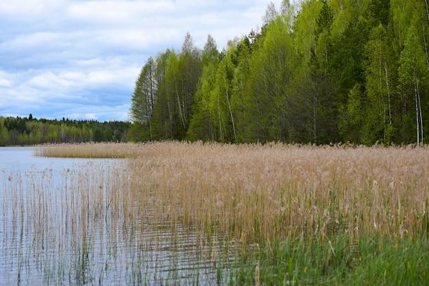葦の草が生い茂った森の湖