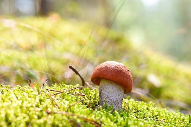 最初の若い食用きのこは森の苔で成長します