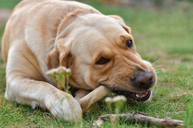 ゴールデンドッグラブラドールテリアは草の上に横たわる骨を食べる
