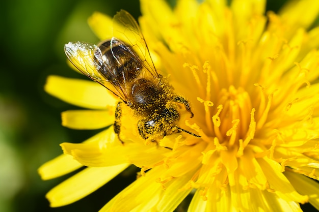 蜂のマクロ写真は黄色い花から蜜を集める
