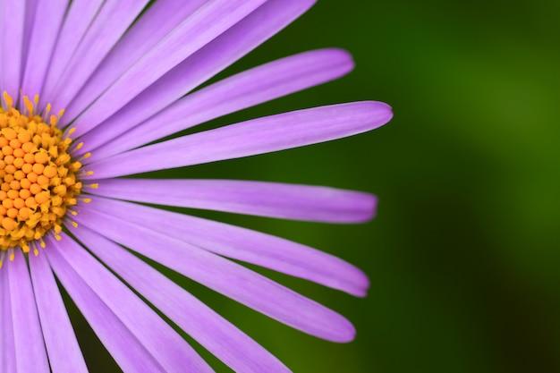 Крупный цветок ромашки с фиолетовыми лепестками крупным планом