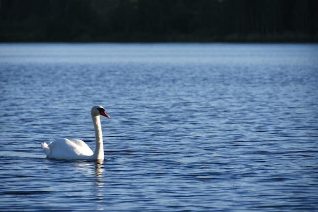 Птица белого лебедя плавает по озеру голубая вода в лесу вечером