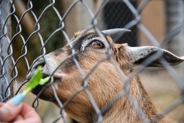 男は動物園でケージにヤギを養います