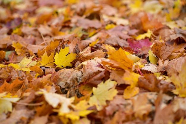 秋の草の上の落ちたオレンジ色のカエデの葉