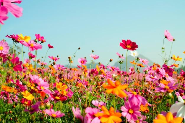 美しいコスモス畑、ビンテージカラースタイル