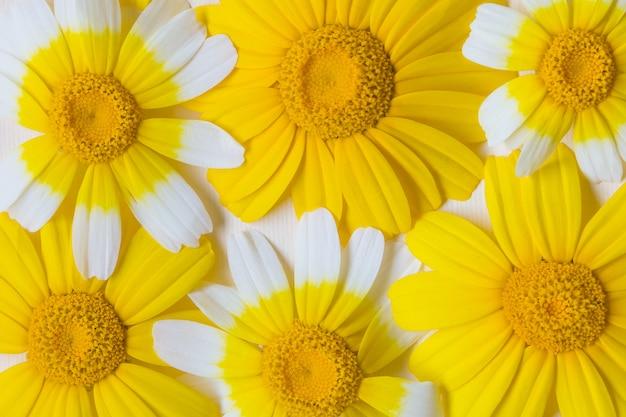 明るい白と黄色のヒナギク。自然な背景夏の気分