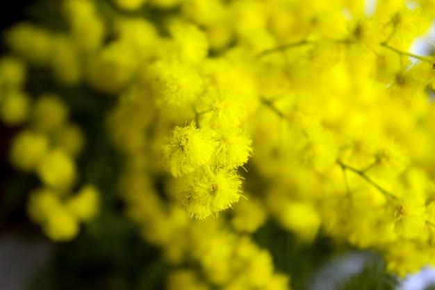 Желтые цветы мимозы на ветвях деревьев. выборочный фокус.
