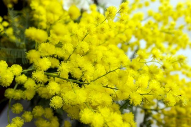 Желтые цветы мимозы на ветвях деревьев. весенний фон.