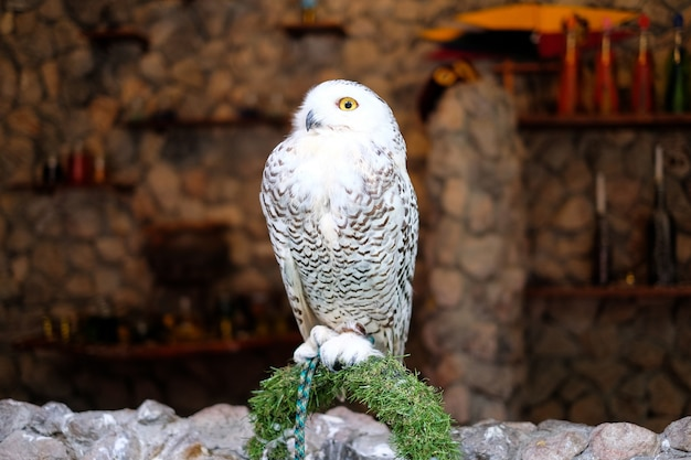 雪の多いフクロウは、動物(鳥)の背景やテクスチャの石の上に立つ。