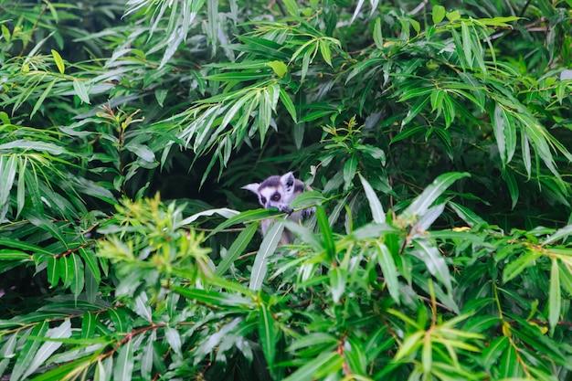Кошачий лемур садится на дерево. лемур катта смотрит в камеру.