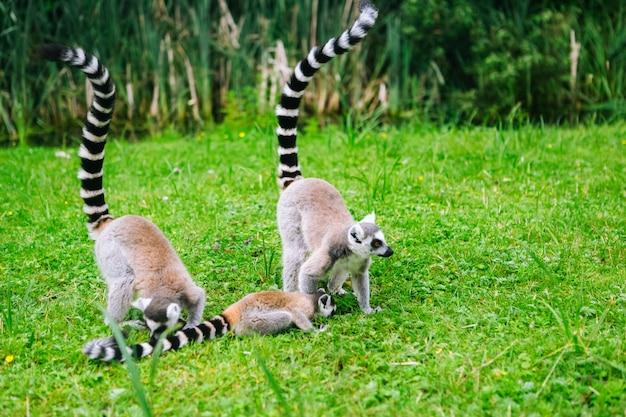 Кошачие лемуры на траве. группа лемуров катта. красивые серые и белые лемуры.