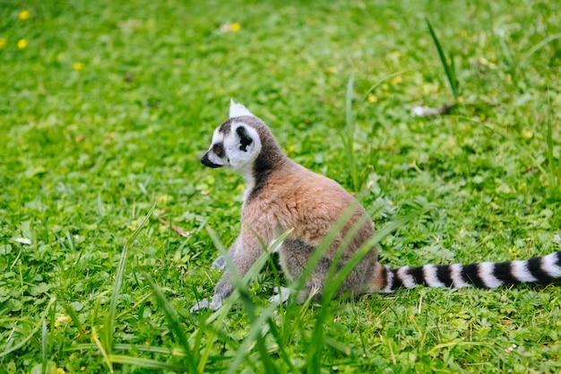 Кошачие лемуры на траве. группа лемуров катта. красивые серые и белые лемуры. африканские животные в зоопарке