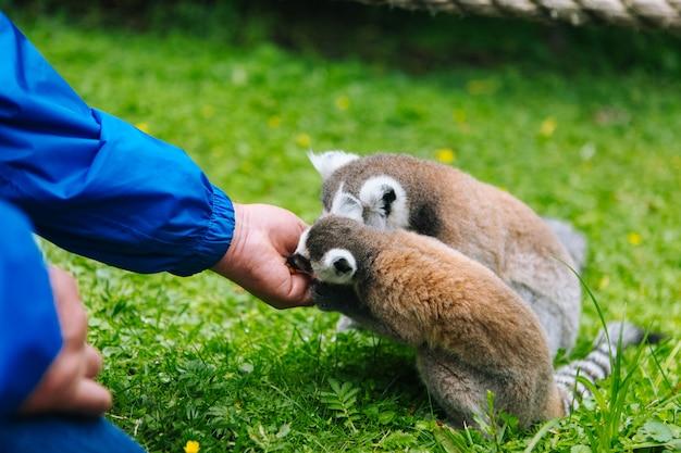 Кошачий лемур ест из рук человека. народ кормит хвостатых лемуров. лемур катта. красивые серые и белые лемуры