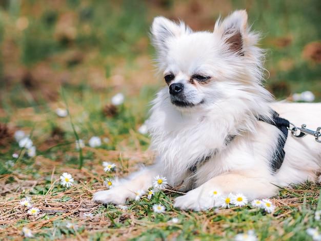 小さな白い犬チワワは、デイジーの花と夏の日に森の地面に座っています。夏の公園で犬の散歩。美しいふわふわの子犬。動物が野外で遊ぶ。自然の中で森の中でペット。