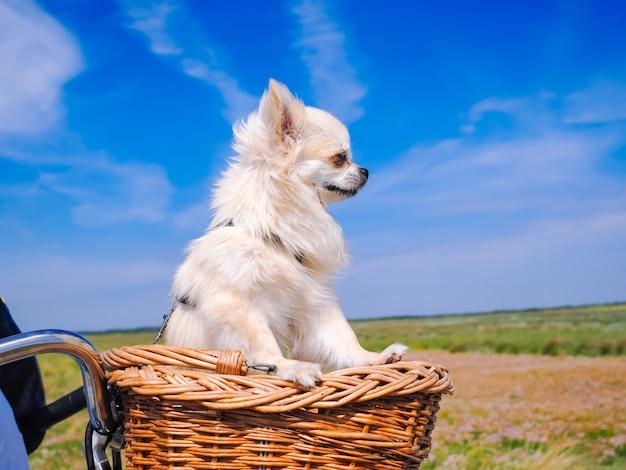 Собака чихуахуа катается на велосипедной корзине