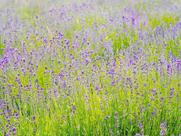 Фиолетовые цветы лаванды цветут в летний день