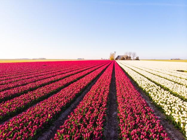 Воздушный беспилотник пролетел над красивые разноцветные поля тюльпанов