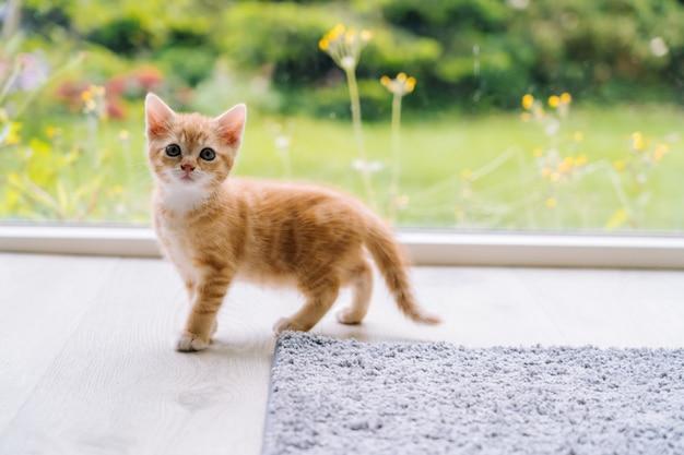 Милое маленькое красное пребывание кота на деревянном поле с окном. молодой милый маленький рыжий котенок. длинношерстный рыжий котенок играет дома. милые веселые домашние питомцы. домашнее животное и молодые котята