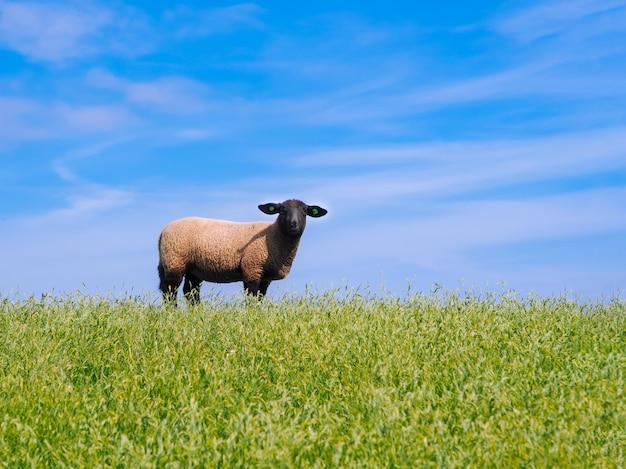オランダの堤防で新鮮な緑の牧草地にかわいい子羊と羊の群れ。