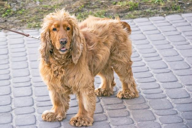 歩いて素敵な血統犬