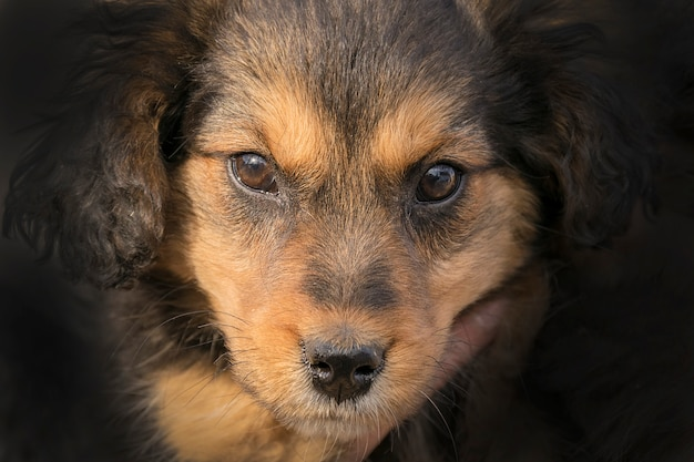 Красивый черно-коричневый щенок смотрит в камеру