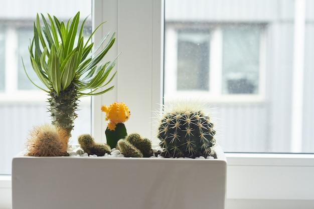 Маленькие разноцветные кактусы и суккуленты в большом белом горшке на подоконнике