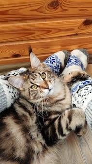 クリスマスソックスで愛人の足元の床に横たわってメインクーン子猫