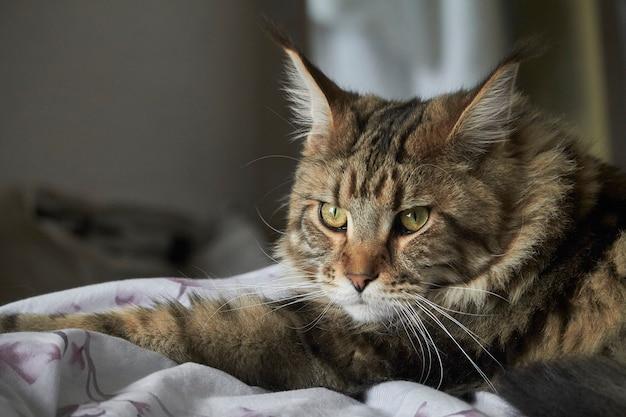 Макро портрет полосатого кота мейн кун