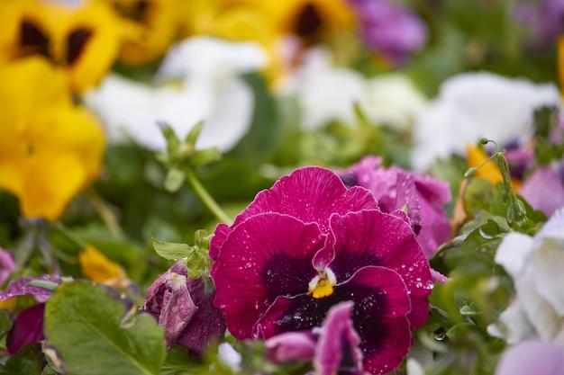 Разноцветные цветы анютины глазки