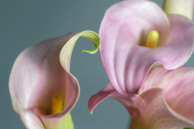 ピンクのオランダカイウユリ、挨拶またはギフトのコンセプトのクローズアップの花束
