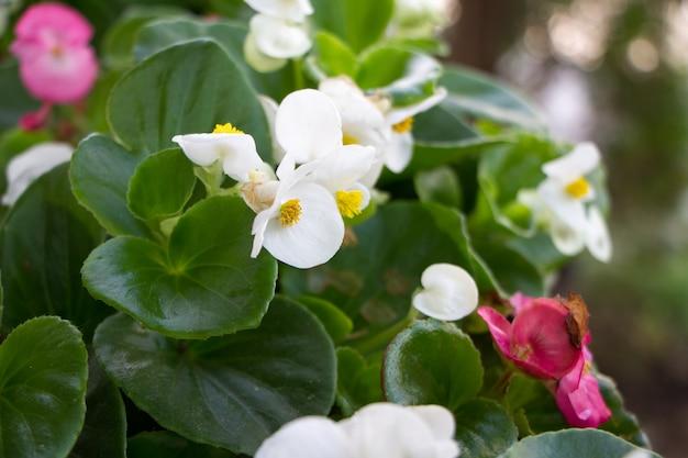 非常にクローズアップの白とピンクのカランコエの花