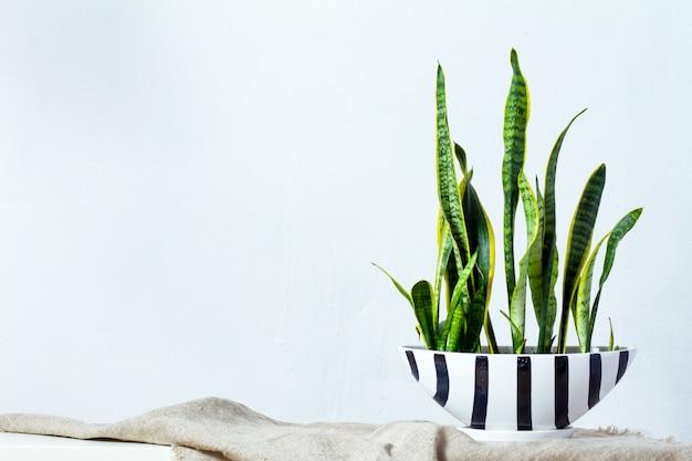 Большое растение сансевиерия в длинном черно-белом горшке стоит на натуральной ткани на белой консоли напротив белой текстурной стены.