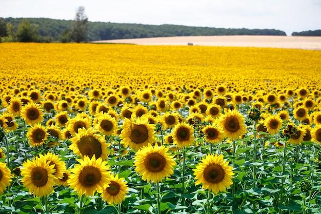 Поле с ярко-желтыми цветущими подсолнухами и холмы с полями пшеницы против голубого неба