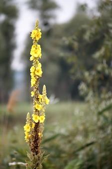 Крупный план большого кефалина или общих кефалиновых цветов, цветения вербаскума в цвету, селективный фокус