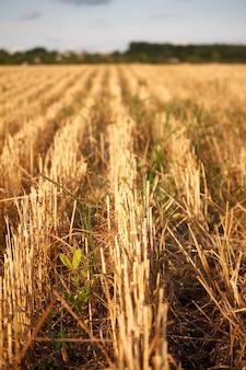 刈られた小麦畑の刈り株、刈られた畑の耳の列のクローズアップ