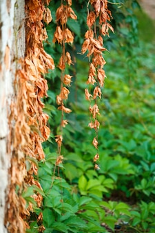 古いセメント壁の背景に野生ブドウの古い乾燥した新しい緑の葉