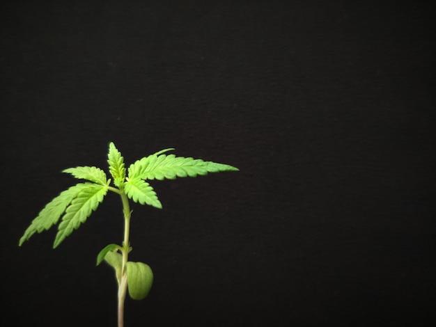 背景やコンセプト、黒の背景に緑の若いマリファナもやし