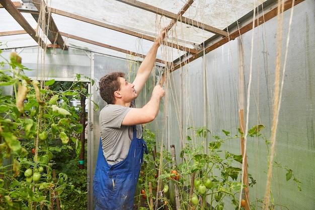 Работник связывает помидоры в теплице