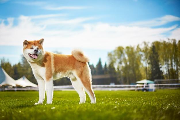 Японская собака акита ину на прогулке