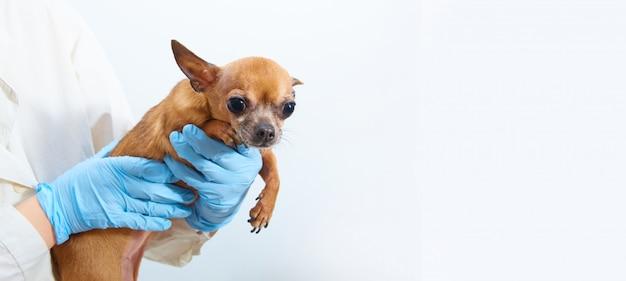 白地に青いゴム手袋で獣医師の手にチワワペット犬。