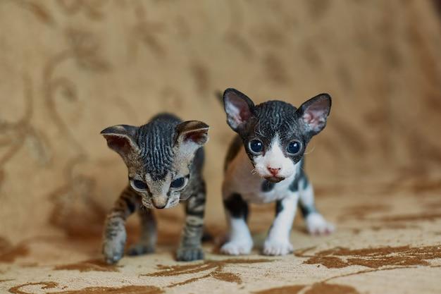 Два серых котенка сфинкса идут в кадр.