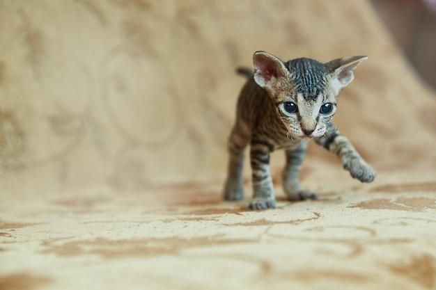 子猫のドンスフィンクスは、フレームに見えます。