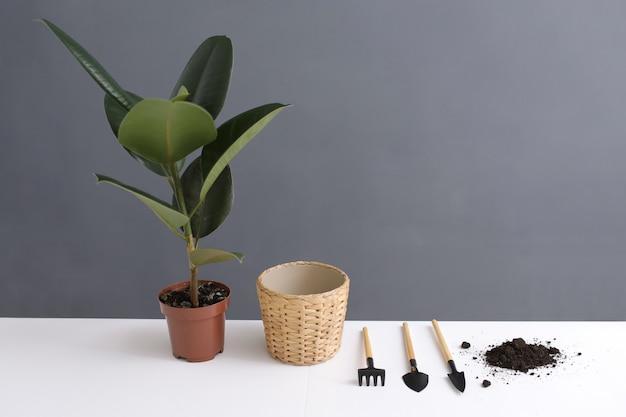 テーブルの上の新しいポットにイチジクの移植観葉植物。白と灰色の背景に家の庭の植物。平干し。