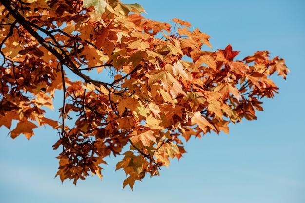 Осенний лесной пейзаж в солнечный день с ветвью желтых кленовых листьев на фоне голубого неба