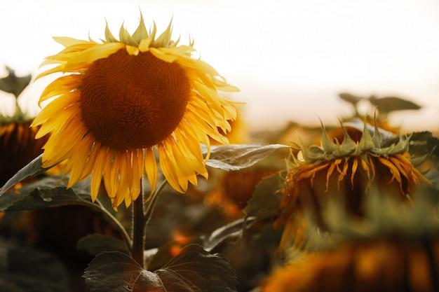 Подсолнечное поле. подсолнечник естественный фон. подсолнечник цветущий. крупный план подсолнечника.