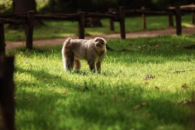 緑豊かな公園を歩いている猿。コピースペース。